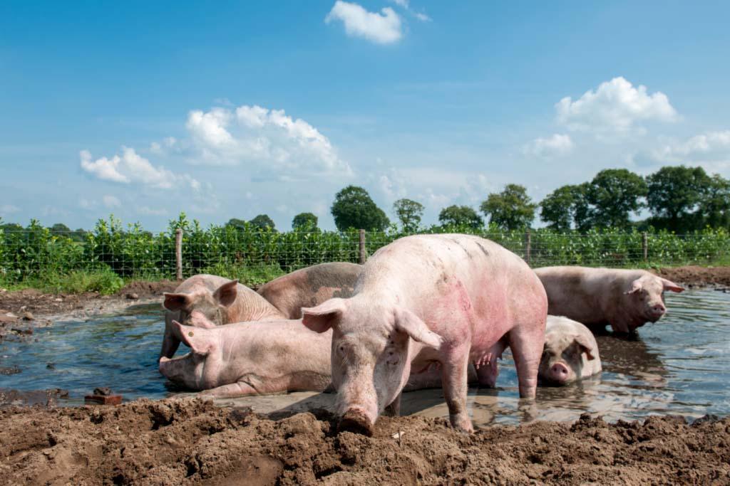 Biologische varkens in de modderpoel